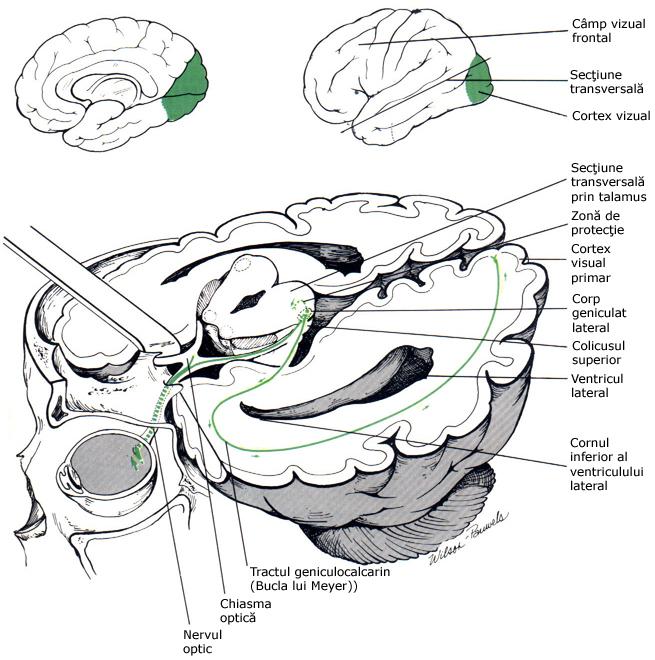 camp vizual periferic viziunea umană depinde